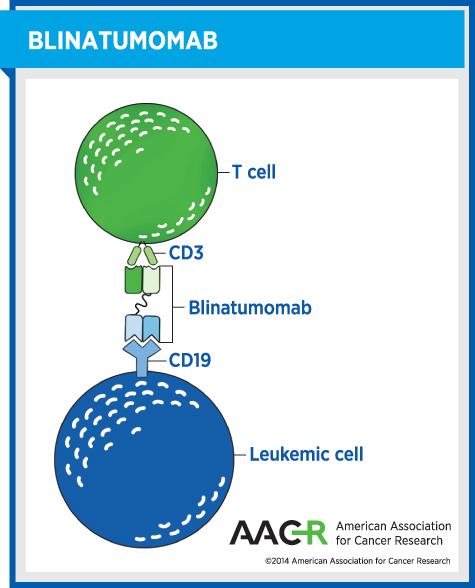 This graphic illustrates how blinatumomab works