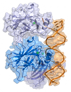 Representation of a complex between DNA and the protein p53. Image by Thomas Splettstoesser licensed under CC BY-SA 3.0 via Wikimedia.