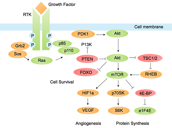 PI3K-Akt pathways with a role in cancer. Image by Tbatan, licensed under CC BY-SA 3.0 via Wikimedia.