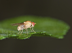 Drosophila melanogaster (fruit fly)